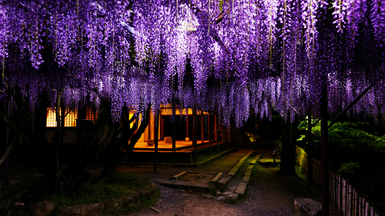 夜 / Light up azalea, wisteria, spring maples