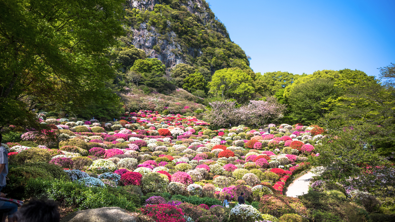 Daytime / A carpet of flowers thatched by 200,000 azaleas